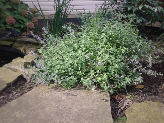 Walkers' Low Catmint